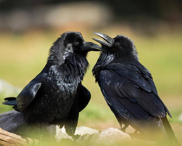 Corvidae Photograph - Pair Of Common Ravens, Corvus Corax by Maresa Pryor