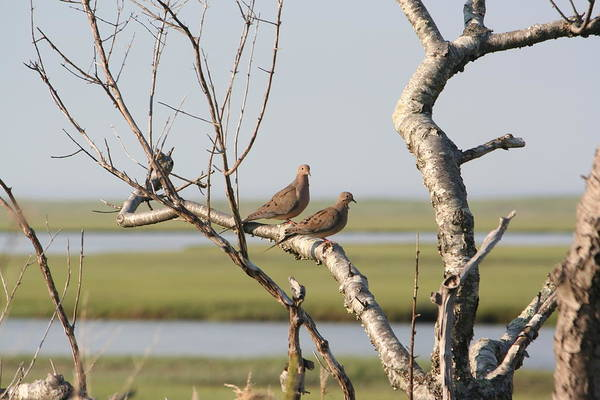 Photograph - Pair Of Doves by Jim Gillen