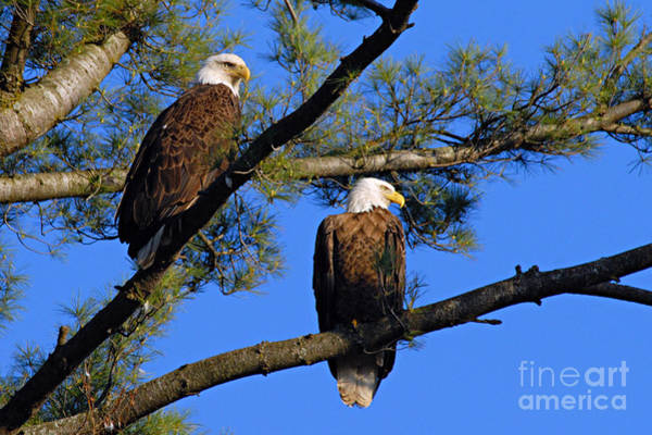 Photograph - Pair Of Eagles by Larry Ricker