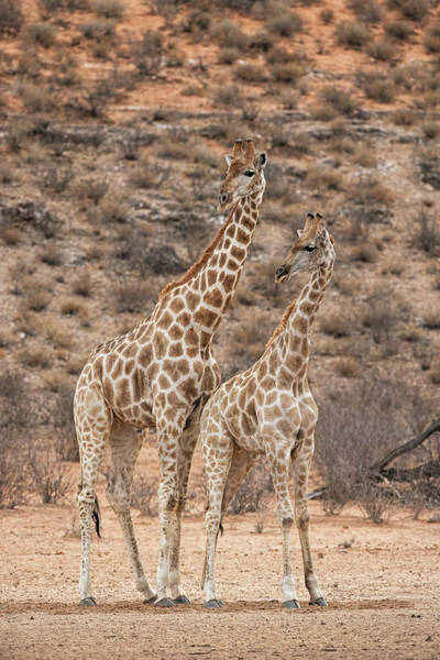 Wall Art - Photograph - Pair Of Giraffe by Tony Camacho/science Photo Library