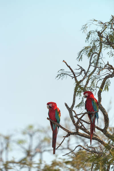 Macaw Photograph - Pair Of Green-winged Macaws On Branch by Sean Caffrey