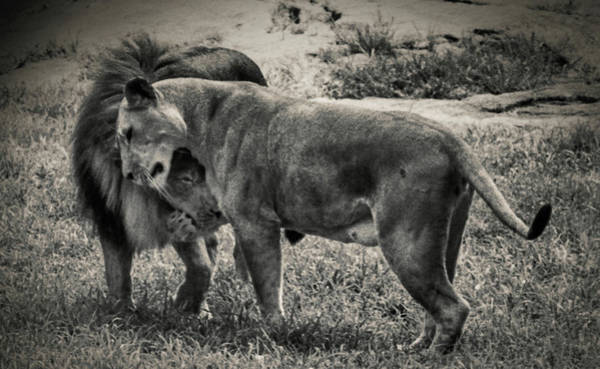 Safari Animal Photograph - Pair Of Lions by Win-initiative