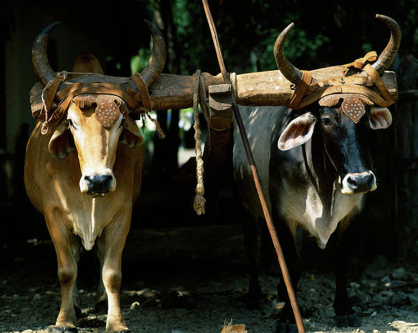 Working Animals Photograph - Pair Of Oxen In A Field, Costa Rica by Animal Images