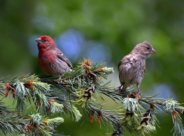 Pair Of Purple Finches Art Print