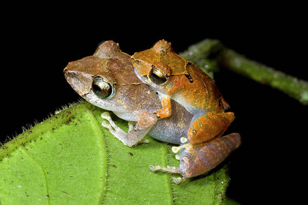 Animal Behaviour Photograph - Pair Of Rain Frogs In Amplexus by Dr Morley Read