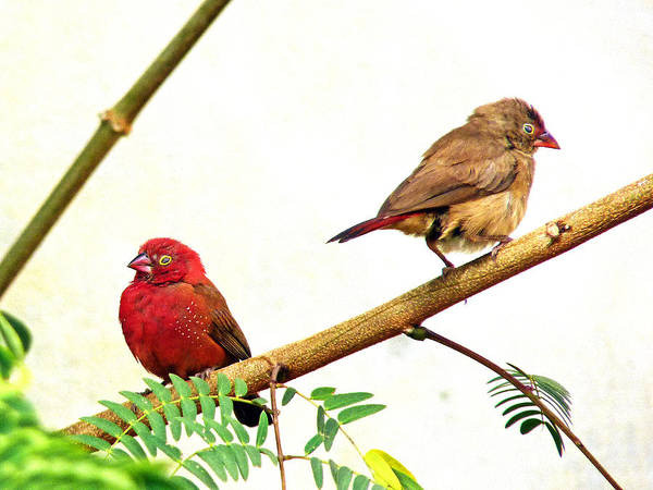 Photograph - Pair Of Red-billed Firefinches by Tony Murtagh