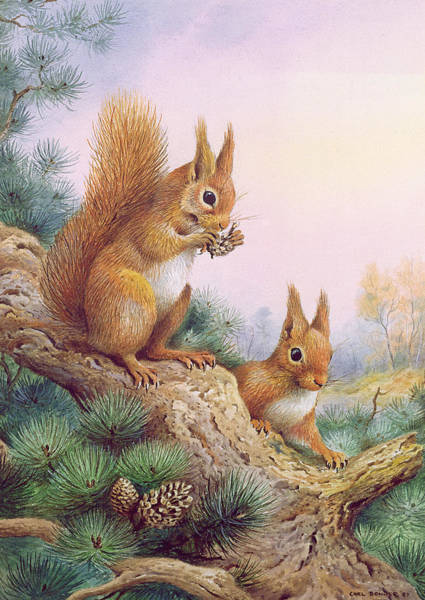 Pine Forest Painting - Pair Of Red Squirrels On A Scottish Pine by Carl Donner
