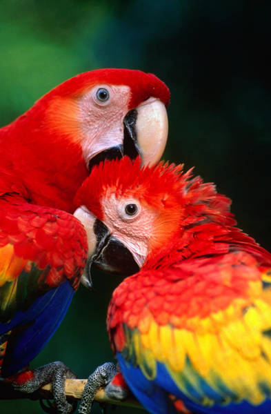 Macaw Photograph - Pair Of Scarlet Macaw Ara Macao by Ralph Lee Hopkins