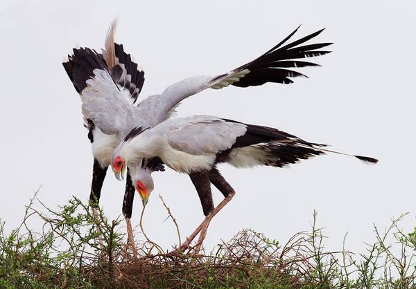 Secretary Photograph - Pair Of Secretary Birds Sagittarius by John Bryant