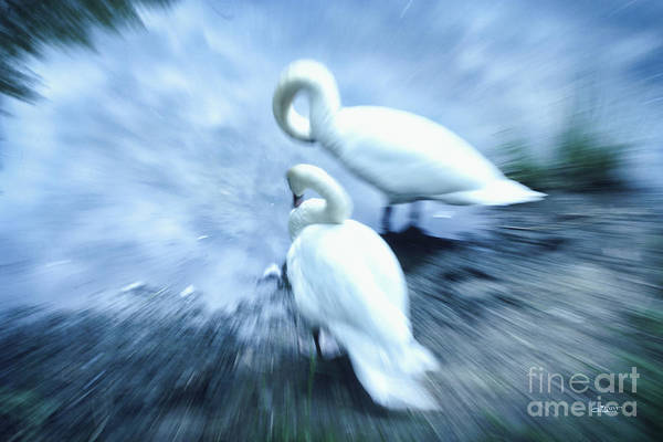 Photograph - Pair Of Swans by Jutta Maria Pusl