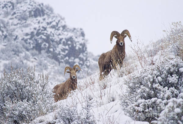 Ram Wall Art - Photograph - Pair Of Winter Rams by Mike  Dawson