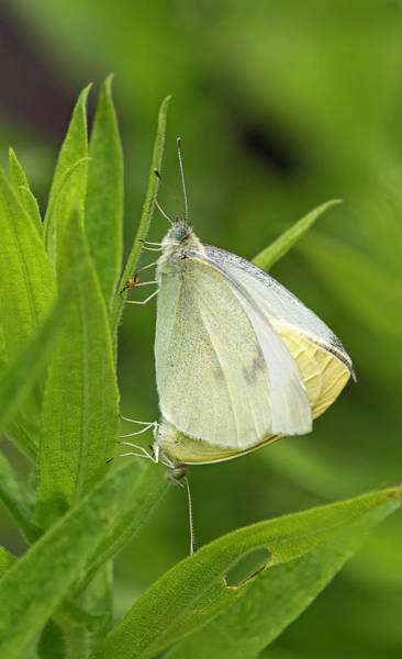 Photograph - Pairing White Cabbage Butterflies by Juergen Roth