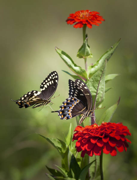 Photograph - Palamedes Swallowtail Butterflies by Jo Ann Tomaselli