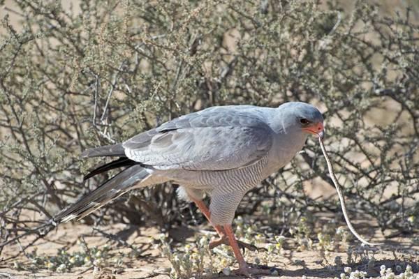 Animal Behaviour Photograph - Pale Chanting Goshawk Killing Snake by Tony Camacho