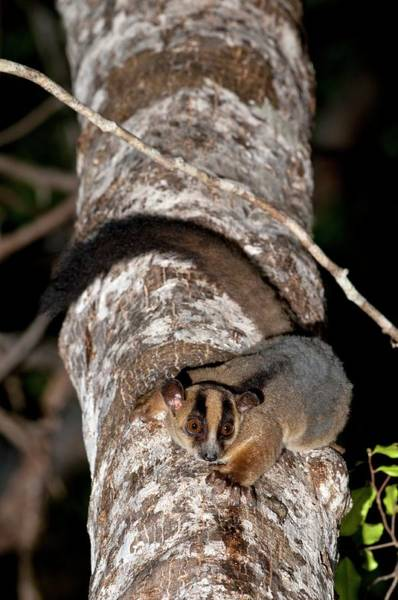 Lemur Photograph - Pale Fork-marked Lemur by Tony Camacho/science Photo Library