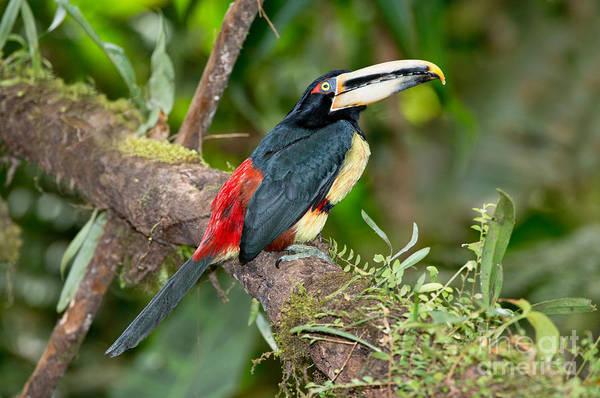 Ramphastidae Photograph - Pale-mandibled Aracari by Anthony Mercieca