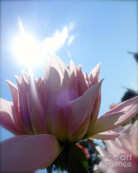 Photograph - Pale Petals In Pink #1 by Jacqueline Athmann