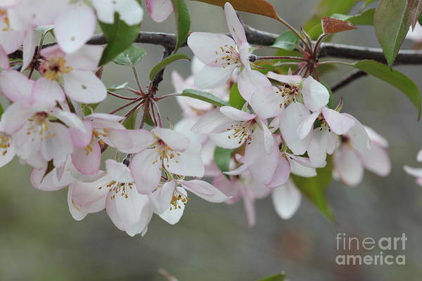 Photograph - Pale Pink Crabapple Branch by Donna L Munro