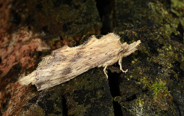 Bark Wall Art - Photograph - Pale Prominent Moth by Nigel Downer