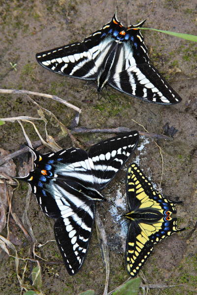 Pallid Wall Art - Photograph - Pale Swallowtails And Western Tiger Swallowtail Butterflies by Karon Melillo DeVega