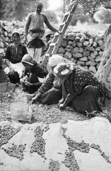 Wall Art - Photograph - Palestine Gathering Olives by Granger