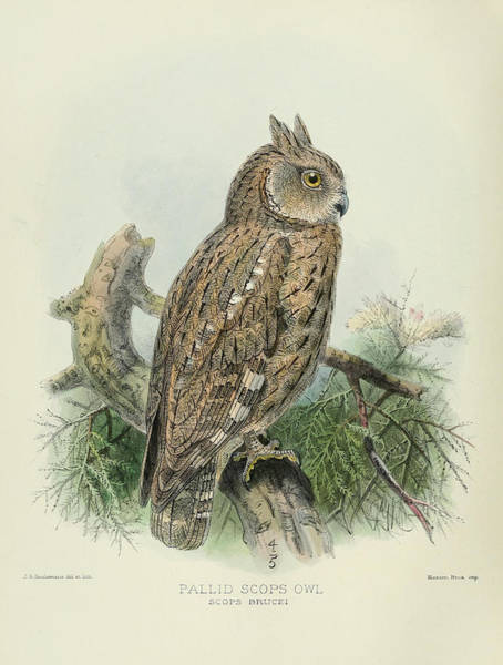 Pallid Wall Art - Painting - Pallid Scops Owl by Dreyer Wildlife Print Collections