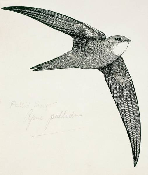Pallid Wall Art - Photograph - Pallid Swift by Natural History Museum, London/science Photo Library