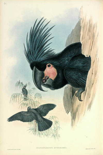 Goliath Photograph - Palm Cockatoo by Natural History Museum, London