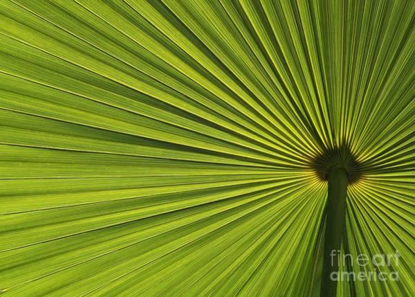 Photograph - Palm Fron Abstract by Sabrina L Ryan