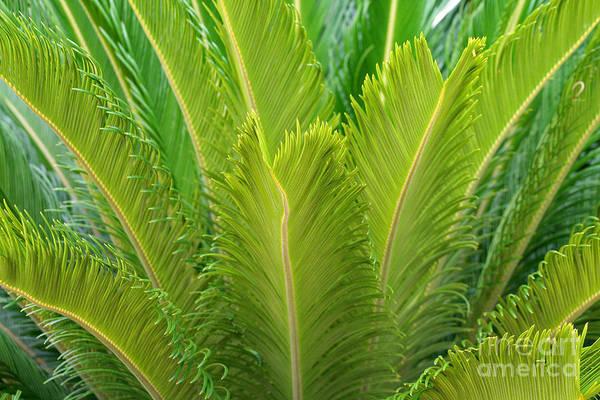 Photograph - Palm Fronds by Karen Adams