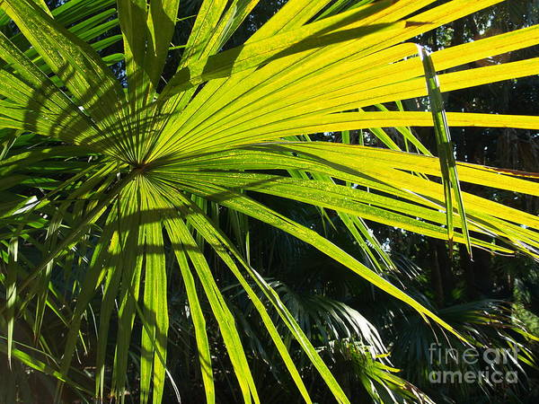 Photograph - Palm Fronds by Robin Maria Pedrero