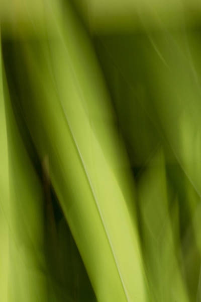 Photograph - Palm Leaf by Steve DaPonte