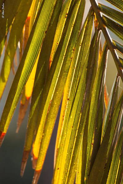 Photograph - Palm Leaves by Alexander Fedin