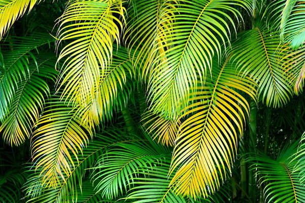 Palm Frond Wall Art - Photograph - Palm Leaves In Green And Gold by Karon Melillo DeVega
