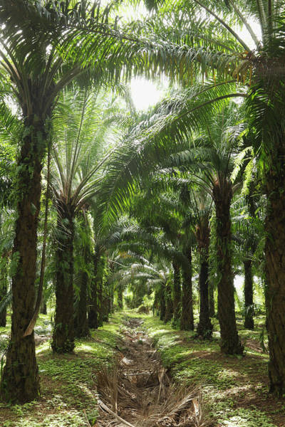 Vertical Perspective Photograph - Palm Oil Plantation by Paul Taylor