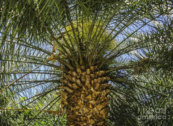 Photograph - Palm Sky by Dale Powell