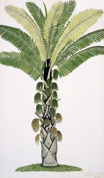 Wall Art - Photograph - Palm Tree by Natural History Museum, London/science Photo Library