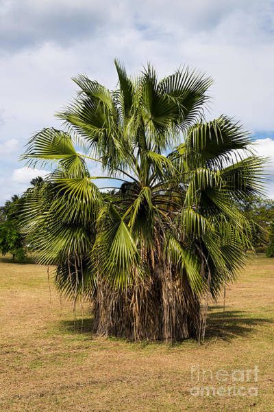 Photograph - Palm Tree With Skirt - Washingtonia Robusta  by Les Palenik