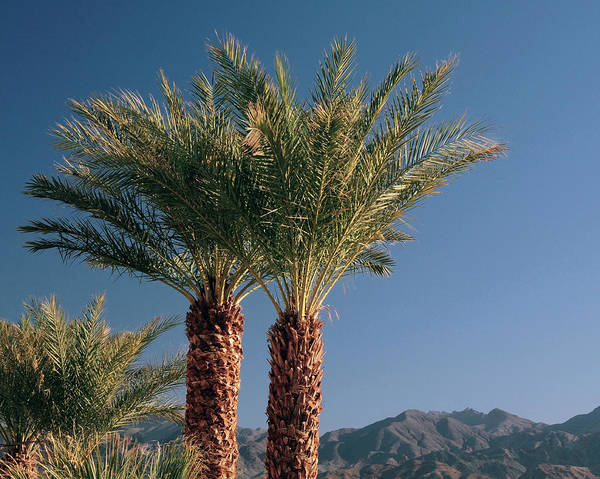Furnace Creek Photograph - Palm Trees At Furnace Creek, Death by Michel Hersen