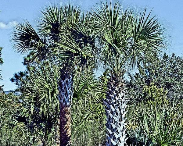 Photograph - Palm Trees by Bill Hosford