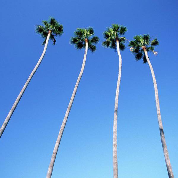 Hollywood Photograph - Palm Trees Lining Hollywood Boulevard by Hisham Ibrahim