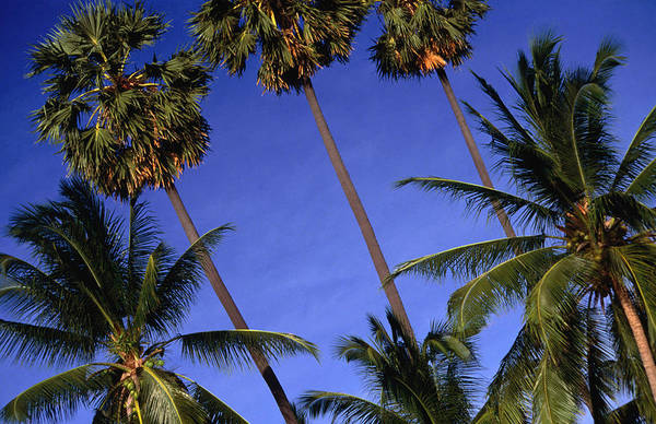 Palm Trees On Ko Samui Art Print