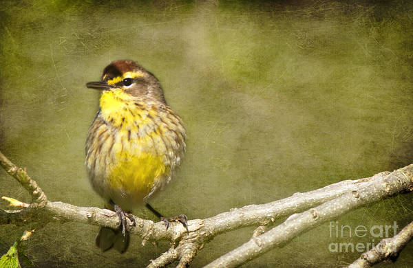 Photograph - Palm Warbler by Pam  Holdsworth