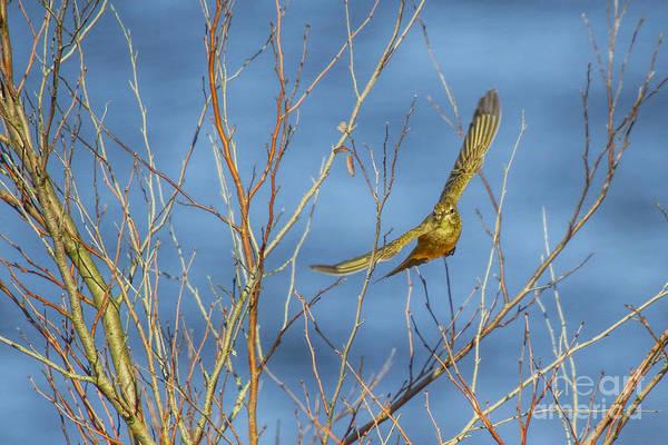 Photograph - Palm Warbler Takes Flight by Barbara Bowen
