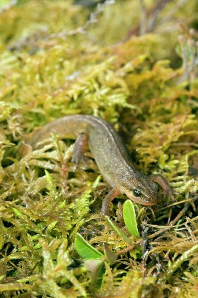 Moorland Photograph - Palmate Newt by Duncan Shaw/science Photo Library