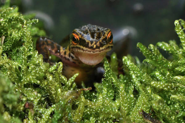 Liverwort Photograph - Palmate Newt by Robert Trevis-smith
