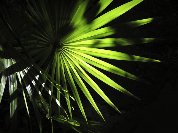 Wall Art - Photograph - Palmetto And Rays by Marilyn Hunt