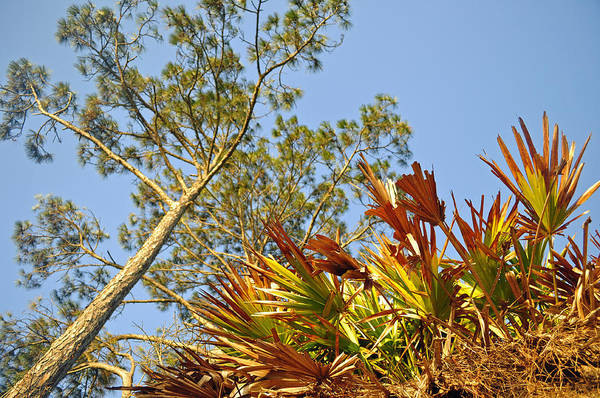 Photograph - Palmettos And A Pine Tree Looking Skyward by Bruce Gourley