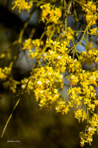 Wall Art - Photograph - Palo Verde Spring by Dick Botkin