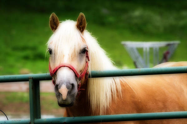 Photograph - Palomino Horse Orton Effect by Eleanor Abramson